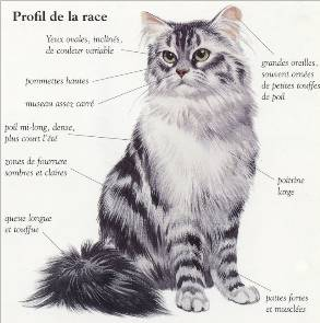 club de race maine coon