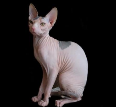 Ce chat vous repousse peut,être au premier abord par son physique pas très ordinaire. Et pourtant, le Sphinx est très affectueux et aime les contacts